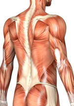 Massage therapy for the muscles of your upper and lower back. Rhomboids, QL, Erector Spinea, pain, herniated, disc, bulging disc, sciatica.  Boulder, Broomfield, Louisville, Westminster, Gunbarrel, Denver.
