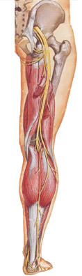 Injury rehab massage therapists for sciatica or sciatic nerve discomfort in the glutes, lower back, hamstrings or back of the leg.  We treat painful sciatica.  This nerve compression may be caused by a bulging or herniated disc, lumbar compression or piriformis syndrome.  Boulder, Broomfield, Louisville, Westminster, Gunbarrel, Denver.