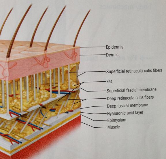 fascia & skin