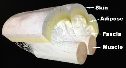 Muscle fascia